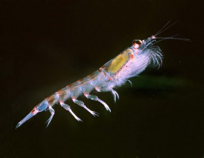 krill - fonds marins antarctique - animal at the base of the marine