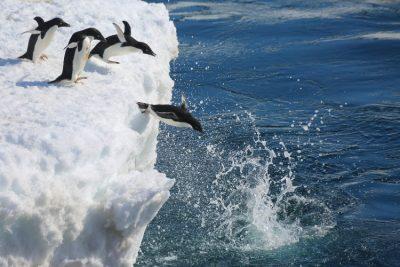 manchots adelie - adelie penguins