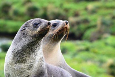 otaries - otarie - antarctique - sea lions