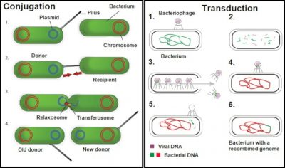 conjugation and transduction -