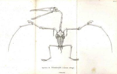 pterodacylys longirostris - dinosaures - dinosaure - fossile