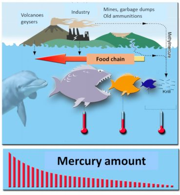 methyl mercury - food chain