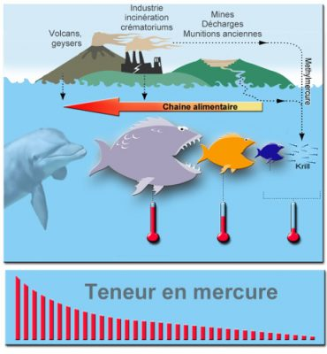 methyl mercure chaine alimentaire poissons