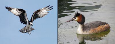 balbuzard pecheur - grebe huppe - osprey - crested grebe