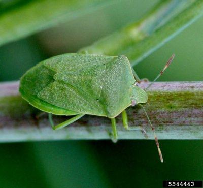 环境百科全书-昆虫-南部绿色臭虫的成虫