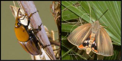 环境百科全书-昆虫-红棕象甲和棕榈蝶蛾