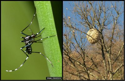 环境百科全书-昆虫-亚洲虎蚊和亚洲大黄蜂
