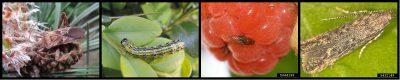 环境百科全书-昆虫-西部喙缘蝽-黄杨木蛾-斑翅果蝇和南美番茄潜叶蛾