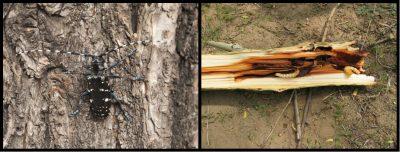 环境百科全书-昆虫-亚洲长角甲虫的成虫和幼虫