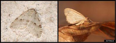 环境百科全书-昆虫-北欧北部地区的两种与桦木有关的飞蛾