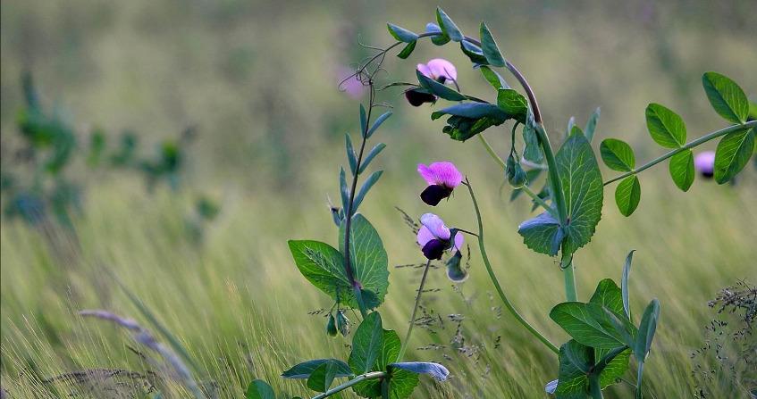 plantes azote - azote - fixation azote plantes
