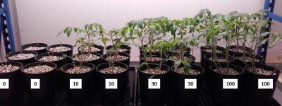 plants tomates - azote plantes