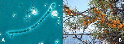 fixateurs biologiques azote - azote - azote plantes