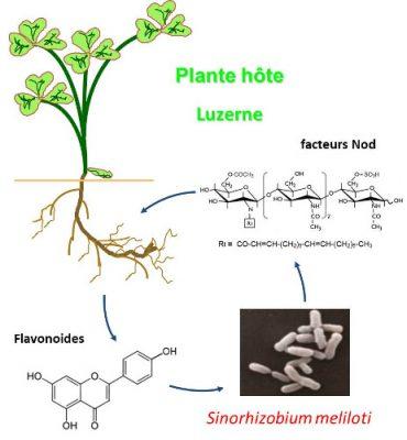 reconnaissance mutuelle azote plantes