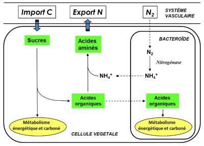 carbone azote plantes