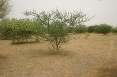 acacia senegal - grande muraille verte afrique - GMV plantation acacia great green wall africa