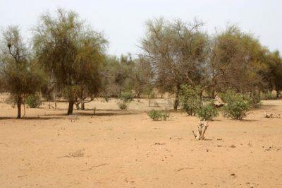Balanites aegyptiaca - grande muraille verte afrique