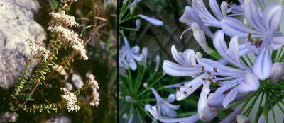 white stonecrop - agapanthus