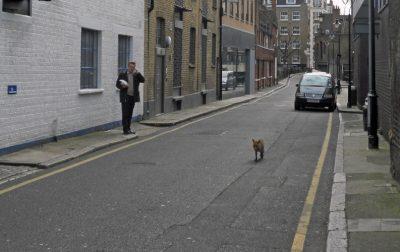 fox in town