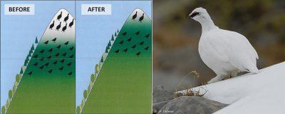 lagopus muta - birds
