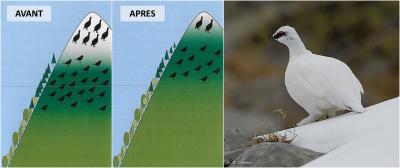 lagopede alpin - oiseaux