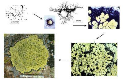 lichens - quartzite - Rhizocarpon geographicum