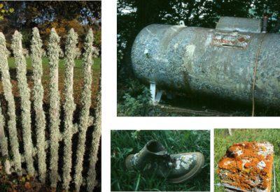 lichens - exemples lichens