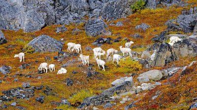 sheep alaska - sheep - alaska - national park service
