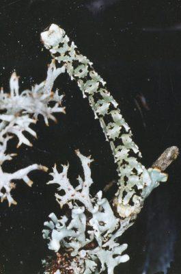 Boarmia caterpillar - lichens