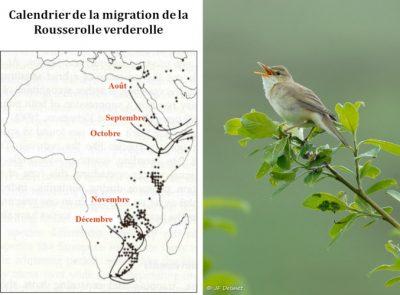 rousserole verderolle - oiseaux
