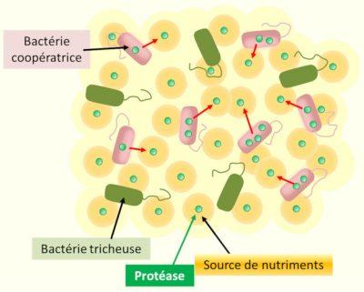 quorum sensnig - bacteries