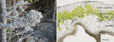 lichens - thalles