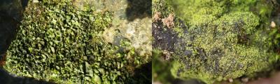 lichens - Dermatocapon luridum - Vezdaea leprosa