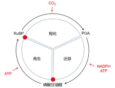 环境百科全书-碳-Benson-Basham-Calvin循环