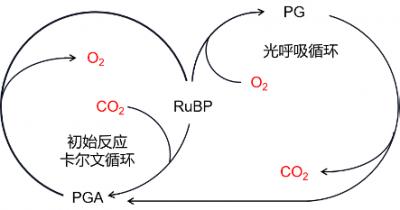 环境百科全书-碳-光合循环与光呼吸循环之间的关系