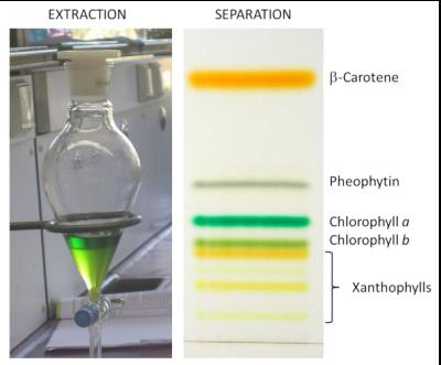 chlorophyll - pigments - color