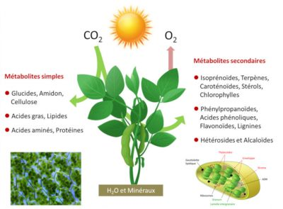 photosynthèse - schema photosynthèse