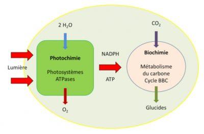 photosynthèse - carbone - fixation carbone