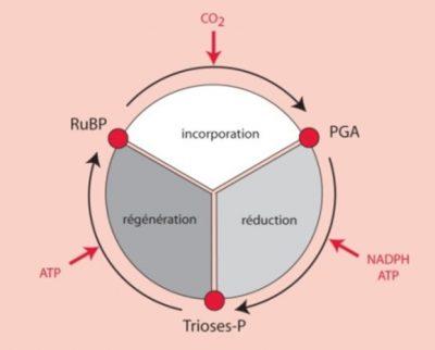 photosynthèse - cycle de Benson-Bassham-Calvin - carbone