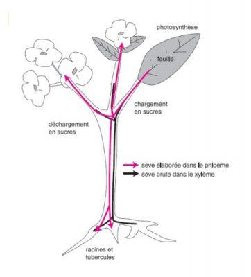 seve plante - seve brute plante - photosynthese