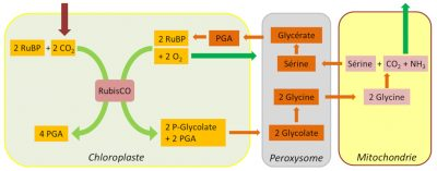 photosynthese - chloroplastes - peroxysomes - mitochondries