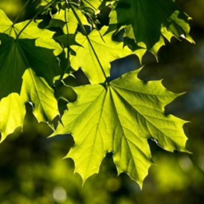 photosynthese - couleur feuilles - couleur plantes