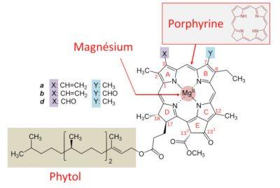 chlorophylles - photosynthese
