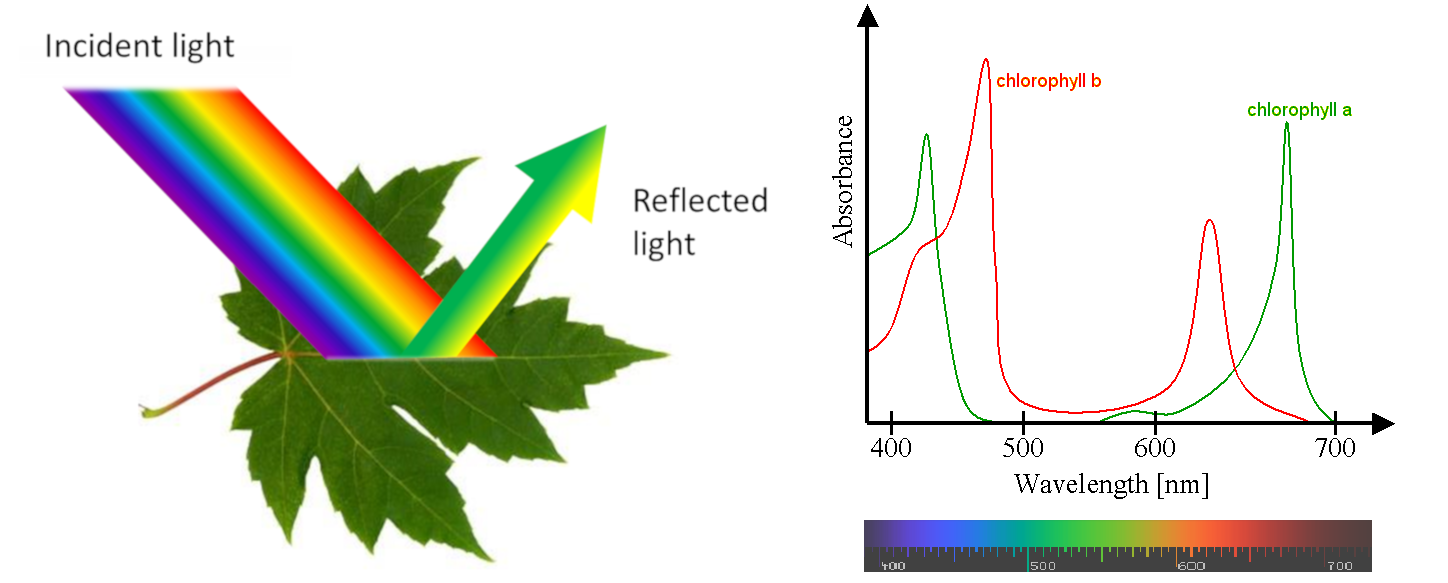 Shedding Light On Photosynthesis Encyclopedie De L Environnement Photo synthesis means synthesis of chemicals in presence of photon (electromagnetic wave energy) brief photsynthesis as name itself indicates it needs first of all sunlight.then the process capture. shedding light on photosynthesis