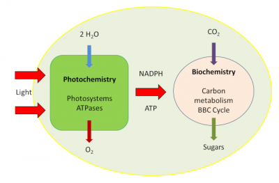photosynthesis phases - Benson-Bassham-Calvin Cycle