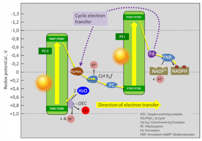 photosynthesis - NADP+
