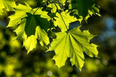 lumiere feuilles arbre - photosynthese - lumiere plantes photosynthese
