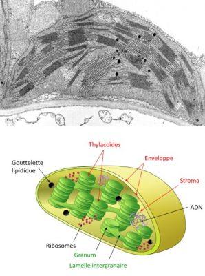 chloroplaste - photosynthese - mitochondrie