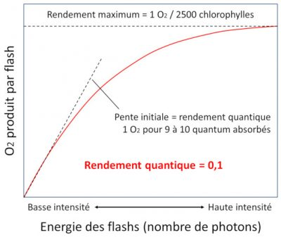 photosynthese schema - rendement quantique photosynthese