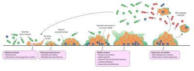 biofilm - biofilms - formation biofilms